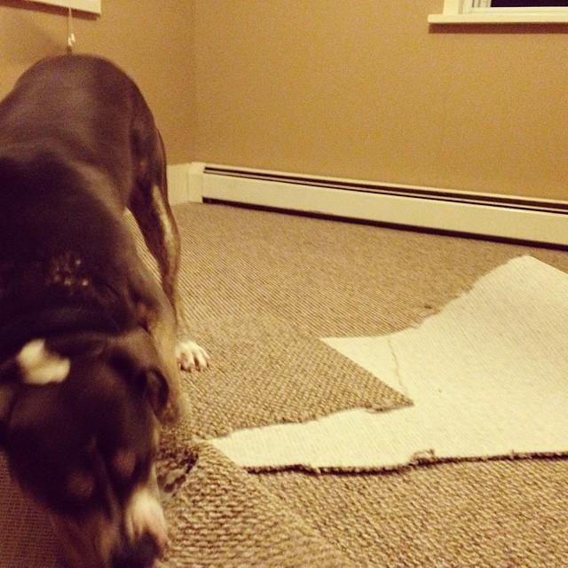Jack and a new carpet. Oneida trails @scott_gallo