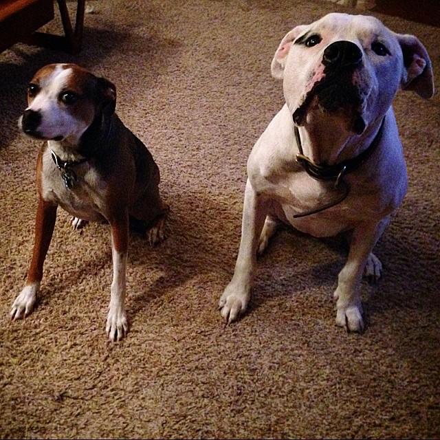 Hazel's got a new roommate #hazeldog #waffles