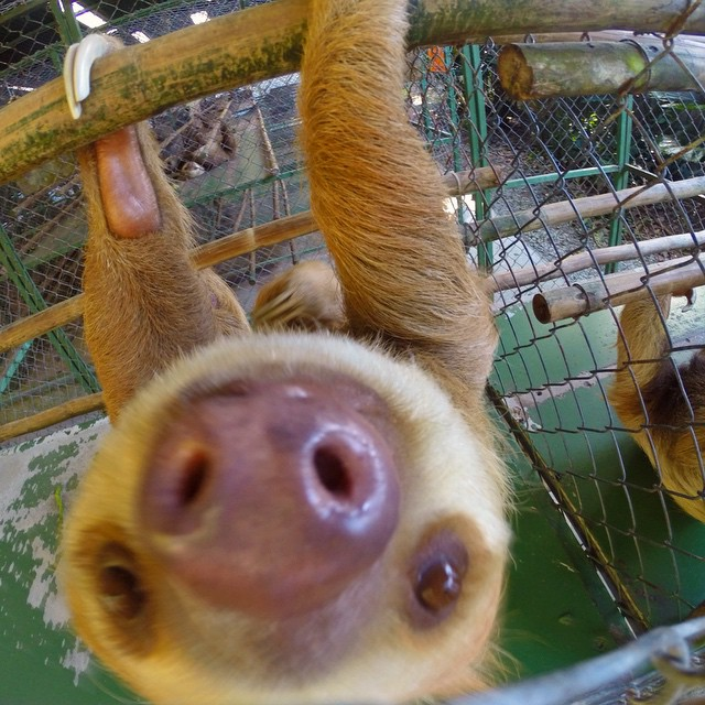 Live slow die whenever. #SlothSanctuaryofCostaRica