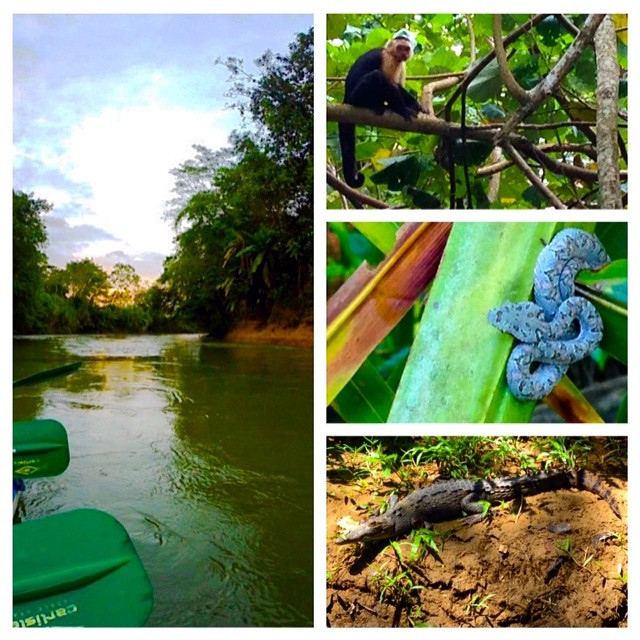 Took a boat ride and saw some nature this evening. Pretty awesome seeing monkeys, snakes, alligators and even sloths in their natural habitat.